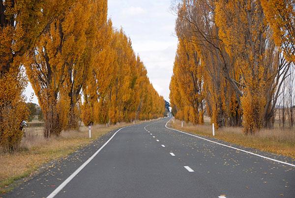 Poplar lined road