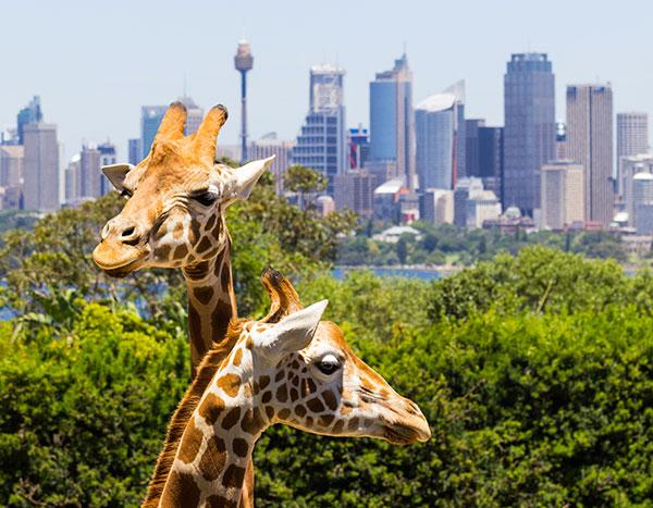 Giraffes at Taronga Park Zoo Sydney
