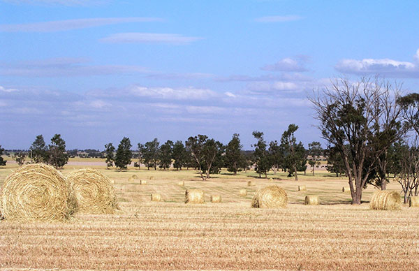 Cereals being baled