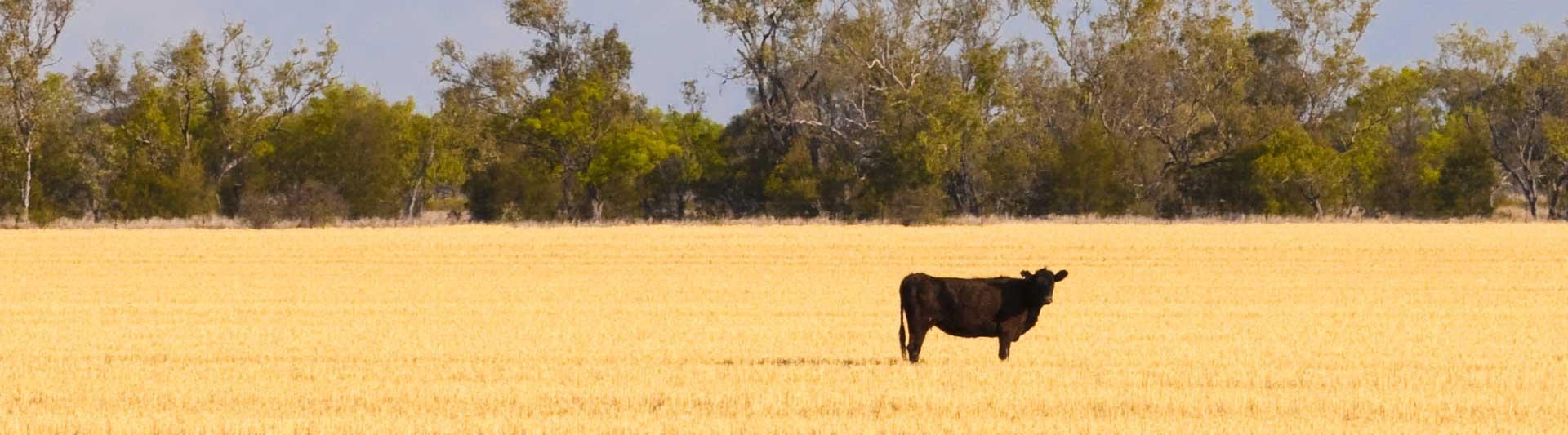 Bullock in field