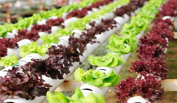 Hydroponic lettuce farm