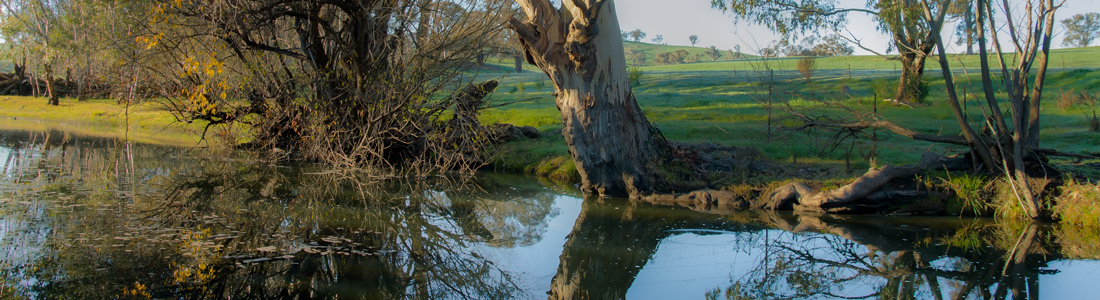 A magnificent River Redgum overhanging a pool on the Belubula River, Mandurama NSW.