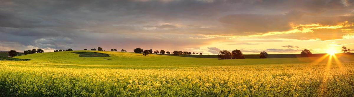 Canola fields in regional NSW